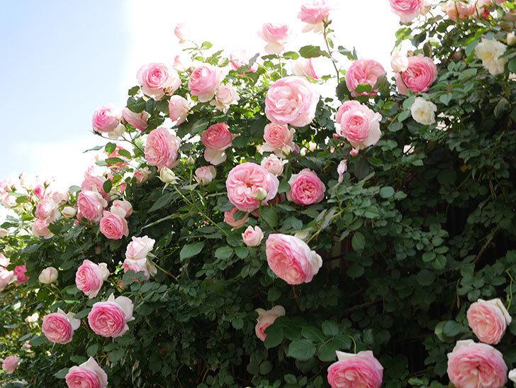 ピエール・ドゥ・ロンサール(Pierre de Ronsard)の花がたくさん咲いた。ツルバラ。2021年-143.jpg