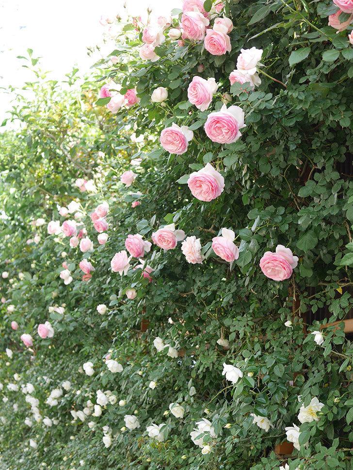 ピエール・ドゥ・ロンサール(Pierre de Ronsard)の花がたくさん咲いた。ツルバラ。2021年-144.jpg