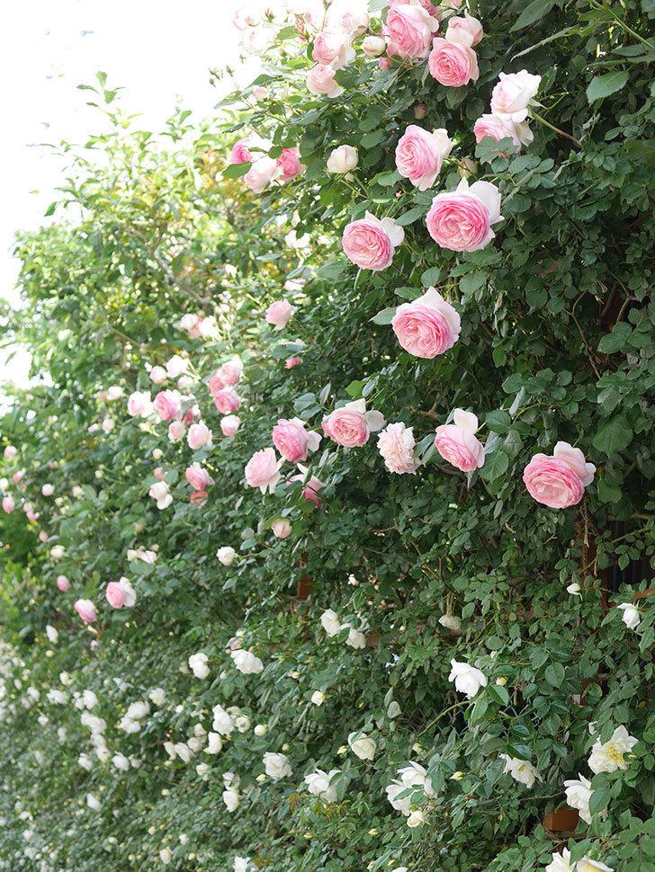 ピエール・ドゥ・ロンサール(Pierre de Ronsard)の花がたくさん咲いた。ツルバラ。2021年-145.jpg