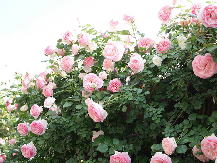 ピエール・ドゥ・ロンサール(Pierre de Ronsard)の花がたくさん咲いた。ツルバラ。2021年-146.jpg