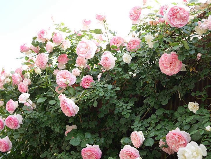 ピエール・ドゥ・ロンサール(Pierre de Ronsard)の花がたくさん咲いた。ツルバラ。2021年-147.jpg
