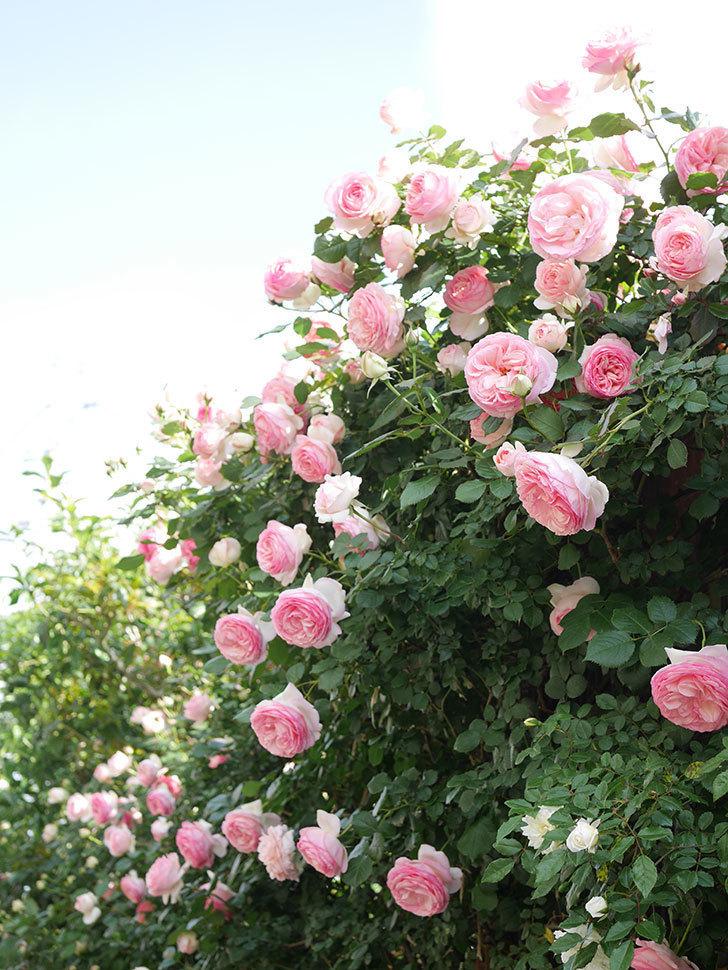 ピエール・ドゥ・ロンサール(Pierre de Ronsard)の花がたくさん咲いた。ツルバラ。2021年-148.jpg