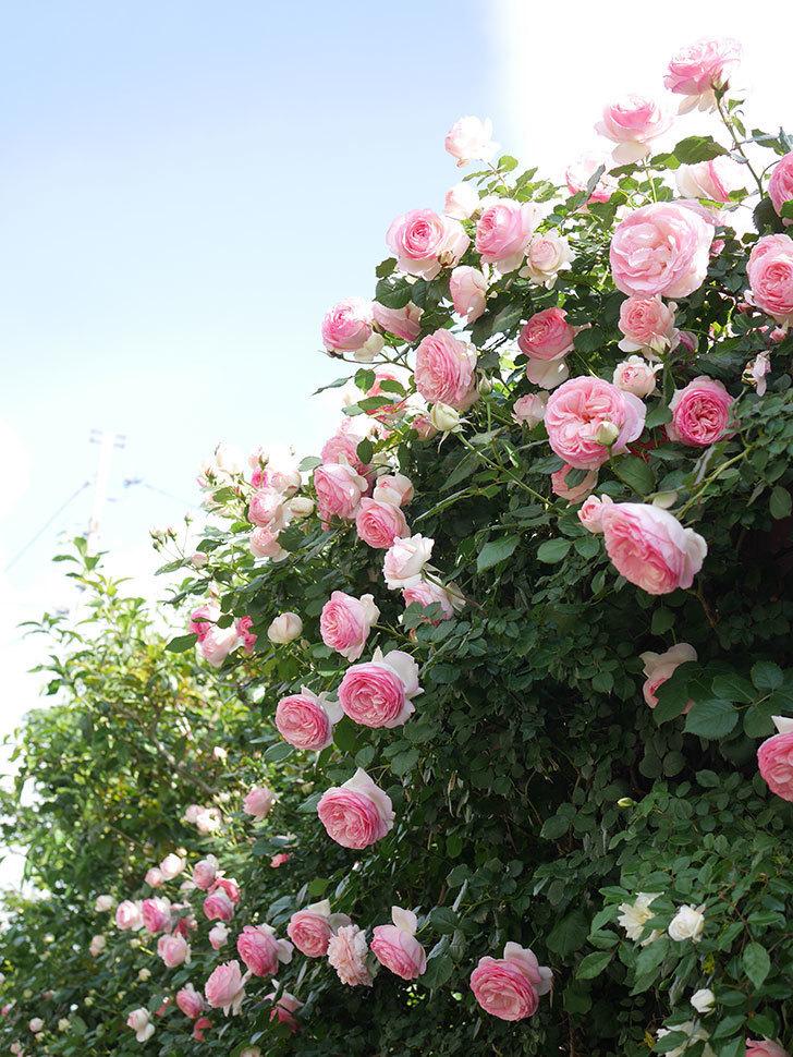 ピエール・ドゥ・ロンサール(Pierre de Ronsard)の花がたくさん咲いた。ツルバラ。2021年-149.jpg