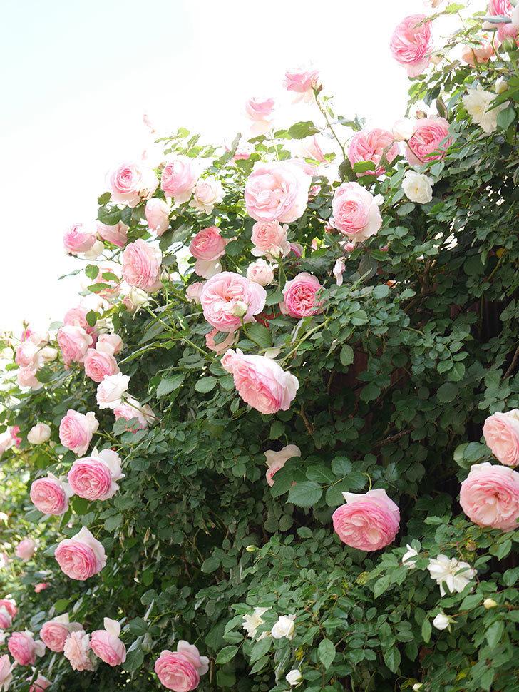 ピエール・ドゥ・ロンサール(Pierre de Ronsard)の花がたくさん咲いた。ツルバラ。2021年-150.jpg
