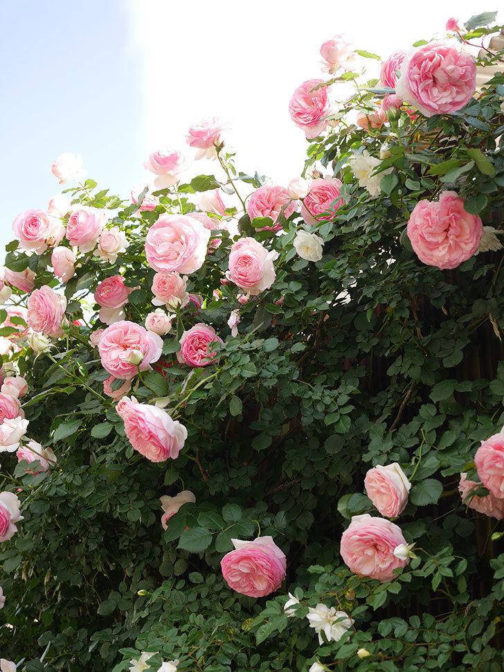 ピエール・ドゥ・ロンサール(Pierre de Ronsard)の花がたくさん咲いた。ツルバラ。2021年-151.jpg
