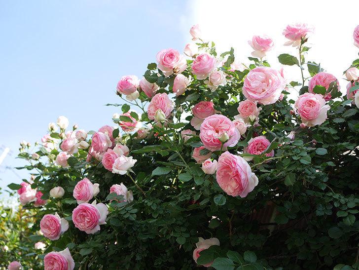 ピエール・ドゥ・ロンサール(Pierre de Ronsard)の花がたくさん咲いた。ツルバラ。2021年-152.jpg