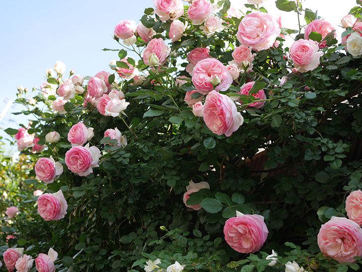 ピエール・ドゥ・ロンサール(Pierre de Ronsard)の花がたくさん咲いた。ツルバラ。2021年-153.jpg