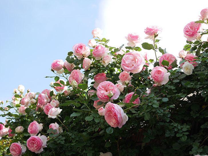 ピエール・ドゥ・ロンサール(Pierre de Ronsard)の花がたくさん咲いた。ツルバラ。2021年-154.jpg