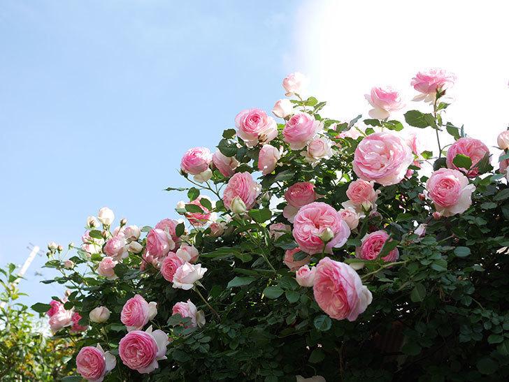 ピエール・ドゥ・ロンサール(Pierre de Ronsard)の花がたくさん咲いた。ツルバラ。2021年-155.jpg