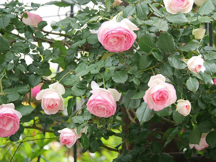 ピエール・ドゥ・ロンサール(Pierre de Ronsard)の花がたくさん咲いた。ツルバラ。2021年-157.jpg
