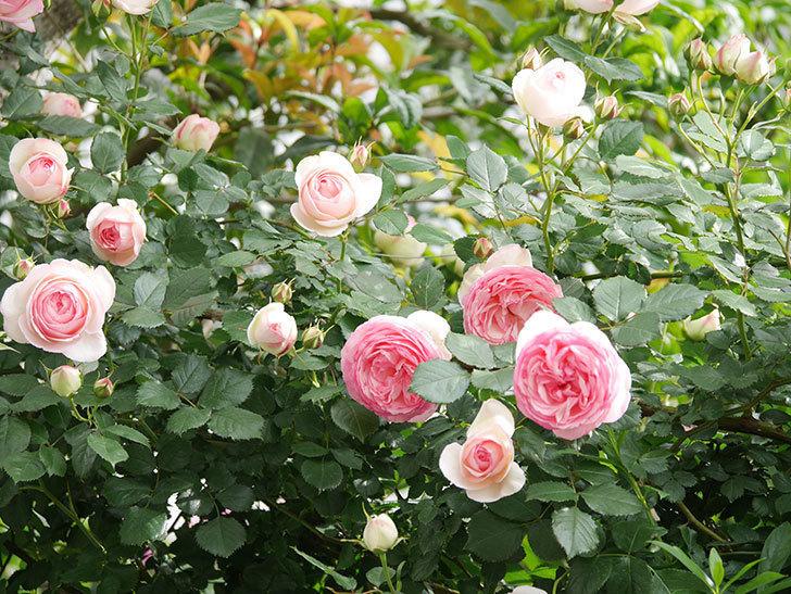 ピエール・ドゥ・ロンサール(Pierre de Ronsard)の花がたくさん咲いた。ツルバラ。2021年-158.jpg