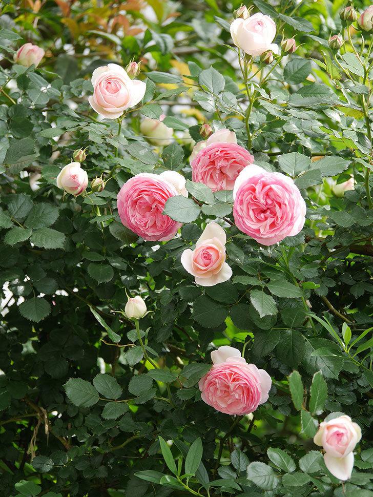 ピエール・ドゥ・ロンサール(Pierre de Ronsard)の花がたくさん咲いた。ツルバラ。2021年-159.jpg