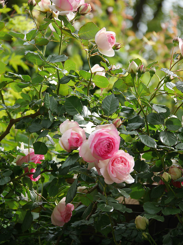 ピエール・ドゥ・ロンサール(Pierre de Ronsard)の花がたくさん咲いた。ツルバラ。2021年-160.jpg