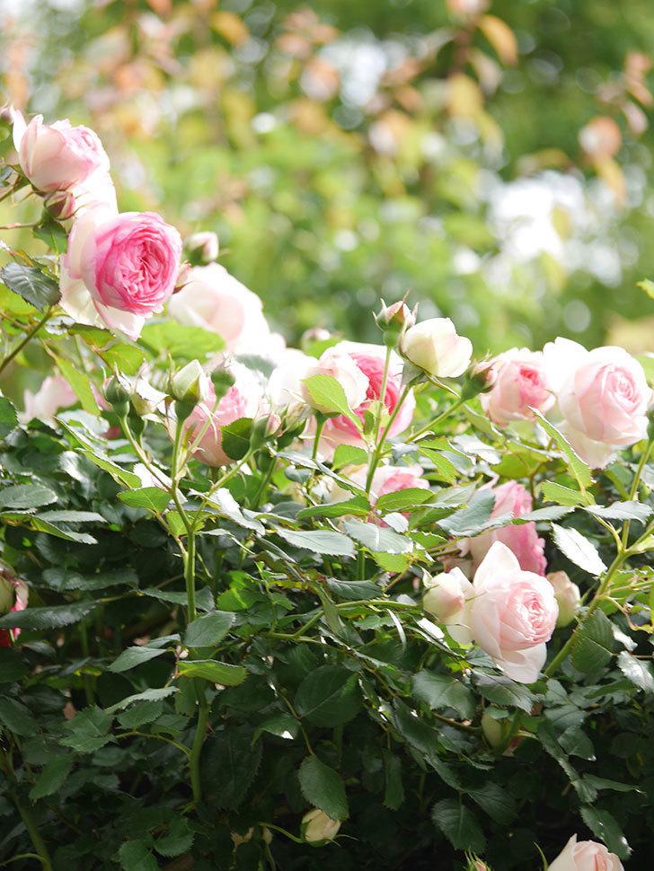 ピエール・ドゥ・ロンサール(Pierre de Ronsard)の花がたくさん咲いた。ツルバラ。2021年-161.jpg