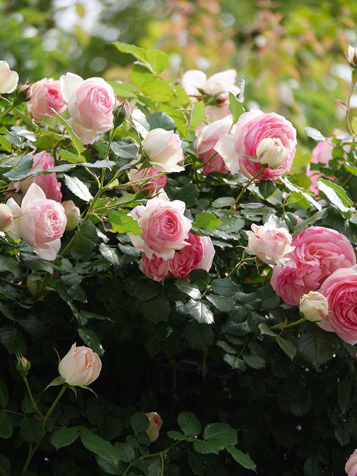 ピエール・ドゥ・ロンサール(Pierre de Ronsard)の花がたくさん咲いた。ツルバラ。2021年-162.jpg