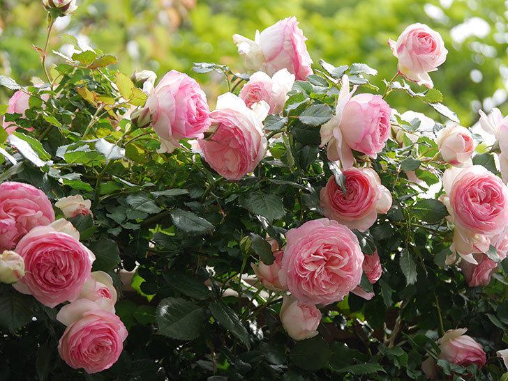ピエール・ドゥ・ロンサール(Pierre de Ronsard)の花がたくさん咲いた。ツルバラ。2021年-163.jpg