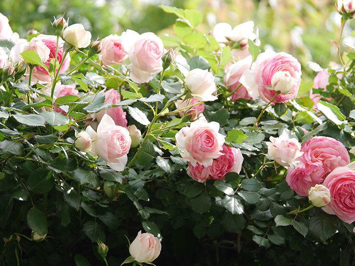 ピエール・ドゥ・ロンサール(Pierre de Ronsard)の花がたくさん咲いた。ツルバラ。2021年-164.jpg
