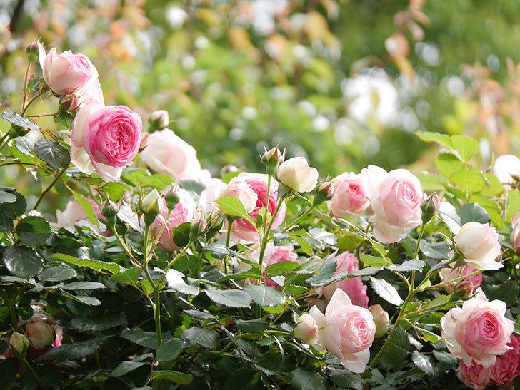 ピエール・ドゥ・ロンサール(Pierre de Ronsard)の花がたくさん咲いた。ツルバラ。2021年-165.jpg