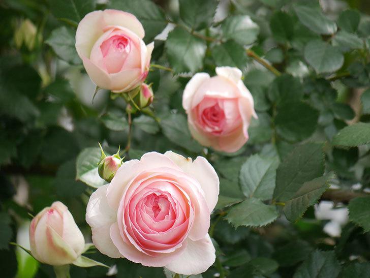 ピエール・ドゥ・ロンサール(Pierre de Ronsard)の花がたくさん咲いた。ツルバラ。2021年-166.jpg