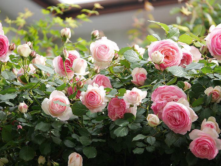 ピエール・ドゥ・ロンサール(Pierre de Ronsard)の花がたくさん咲いた。ツルバラ。2021年-168.jpg