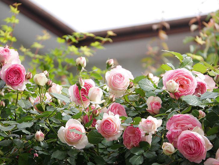 ピエール・ドゥ・ロンサール(Pierre de Ronsard)の花がたくさん咲いた。ツルバラ。2021年-169.jpg