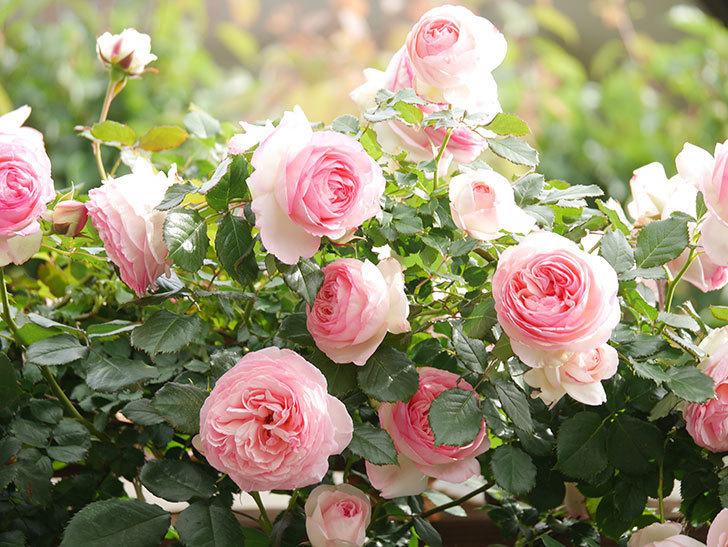ピエール・ドゥ・ロンサール(Pierre de Ronsard)の花がたくさん咲いた。ツルバラ。2021年-170.jpg