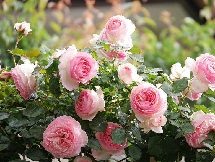 ピエール・ドゥ・ロンサール(Pierre de Ronsard)の花がたくさん咲いた。ツルバラ。2021年-171.jpg