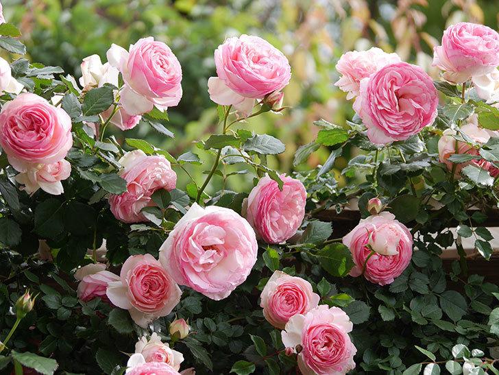 ピエール・ドゥ・ロンサール(Pierre de Ronsard)の花がたくさん咲いた。ツルバラ。2021年-172.jpg