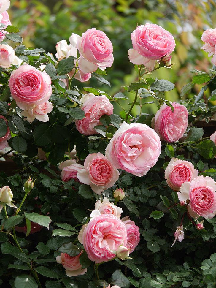 ピエール・ドゥ・ロンサール(Pierre de Ronsard)の花がたくさん咲いた。ツルバラ。2021年-173.jpg