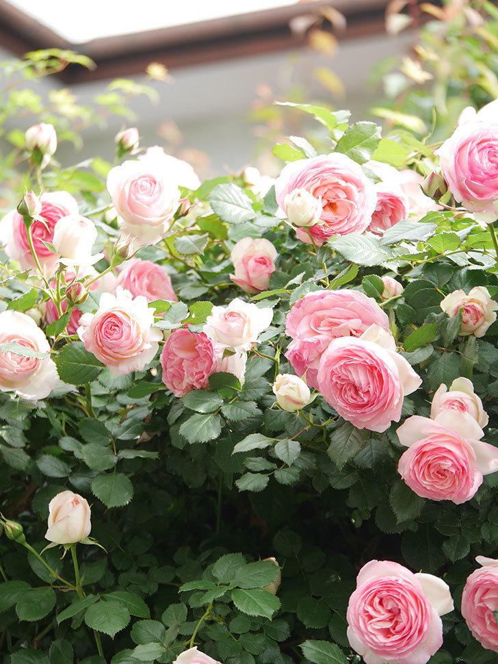 ピエール・ドゥ・ロンサール(Pierre de Ronsard)の花がたくさん咲いた。ツルバラ。2021年-174.jpg