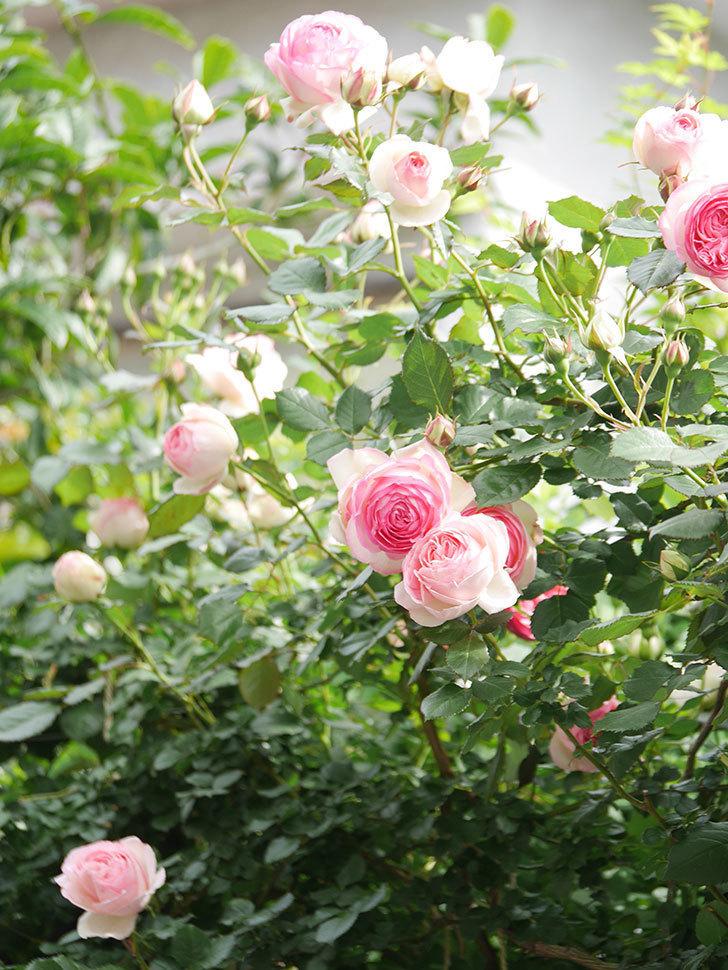 ピエール・ドゥ・ロンサール(Pierre de Ronsard)の花がたくさん咲いた。ツルバラ。2021年-175.jpg