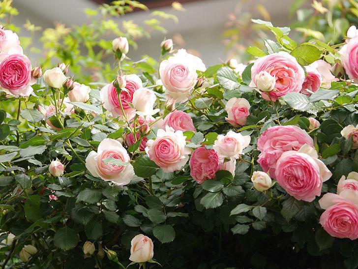 ピエール・ドゥ・ロンサール(Pierre de Ronsard)の花がたくさん咲いた。ツルバラ。2021年-176.jpg