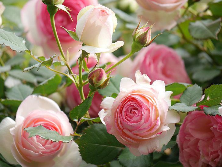 ピエール・ドゥ・ロンサール(Pierre de Ronsard)の花がたくさん咲いた。ツルバラ。2021年-178.jpg