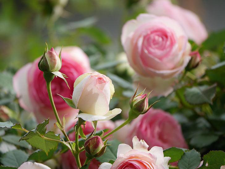 ピエール・ドゥ・ロンサール(Pierre de Ronsard)の花がたくさん咲いた。ツルバラ。2021年-179.jpg