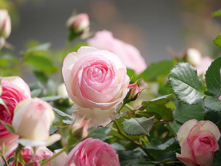 ピエール・ドゥ・ロンサール(Pierre de Ronsard)の花がたくさん咲いた。ツルバラ。2021年-180.jpg