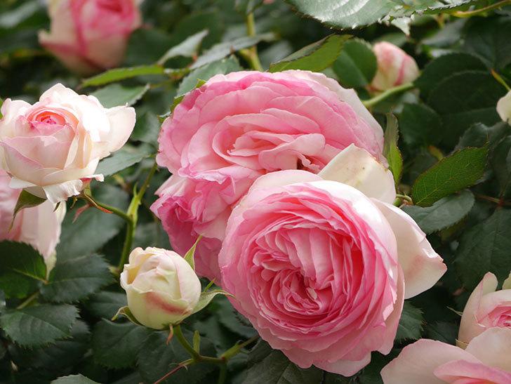 ピエール・ドゥ・ロンサール(Pierre de Ronsard)の花がたくさん咲いた。ツルバラ。2021年-181.jpg