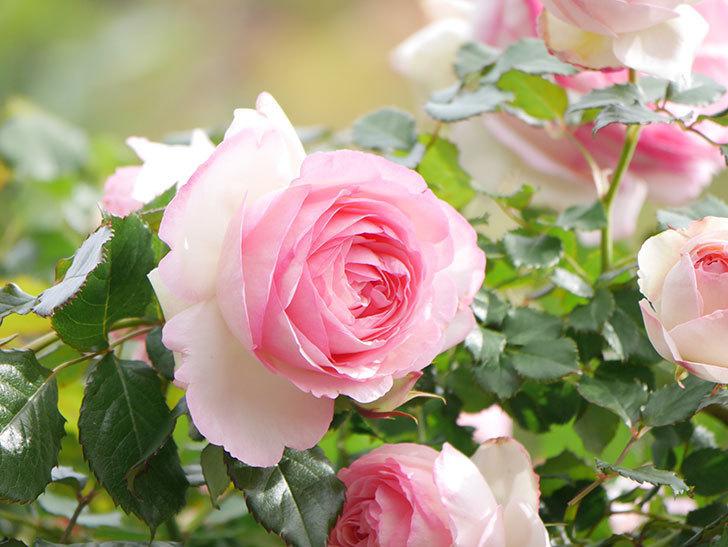 ピエール・ドゥ・ロンサール(Pierre de Ronsard)の花がたくさん咲いた。ツルバラ。2021年-182.jpg