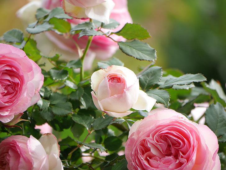 ピエール・ドゥ・ロンサール(Pierre de Ronsard)の花がたくさん咲いた。ツルバラ。2021年-183.jpg