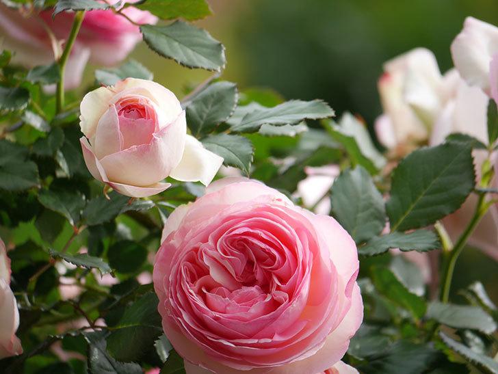 ピエール・ドゥ・ロンサール(Pierre de Ronsard)の花がたくさん咲いた。ツルバラ。2021年-184.jpg