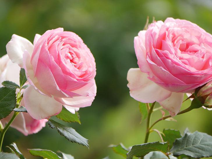 ピエール・ドゥ・ロンサール(Pierre de Ronsard)の花がたくさん咲いた。ツルバラ。2021年-185.jpg