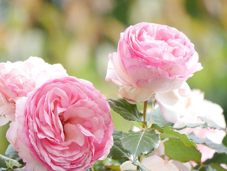ピエール・ドゥ・ロンサール(Pierre de Ronsard)の花がたくさん咲いた。ツルバラ。2021年-186.jpg