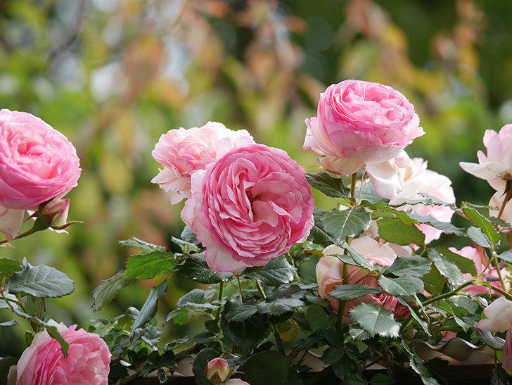 ピエール・ドゥ・ロンサール(Pierre de Ronsard)の花がたくさん咲いた。ツルバラ。2021年-188.jpg