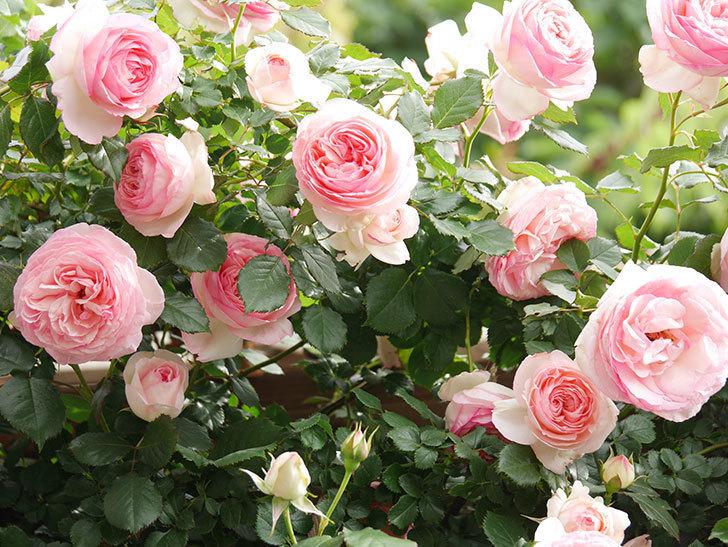 ピエール・ドゥ・ロンサール(Pierre de Ronsard)の花がたくさん咲いた。ツルバラ。2021年-190.jpg