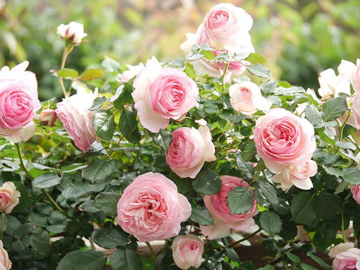 ピエール・ドゥ・ロンサール(Pierre de Ronsard)の花がたくさん咲いた。ツルバラ。2021年-191.jpg