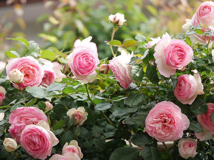 ピエール・ドゥ・ロンサール(Pierre de Ronsard)の花がたくさん咲いた。ツルバラ。2021年-192.jpg