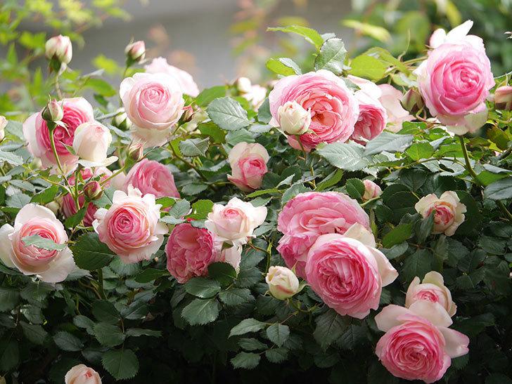 ピエール・ドゥ・ロンサール(Pierre de Ronsard)の花がたくさん咲いた。ツルバラ。2021年-193.jpg
