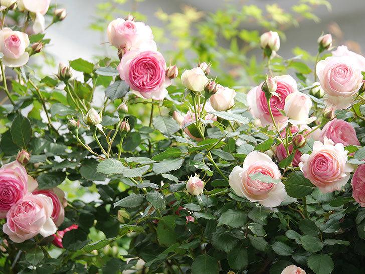 ピエール・ドゥ・ロンサール(Pierre de Ronsard)の花がたくさん咲いた。ツルバラ。2021年-195.jpg