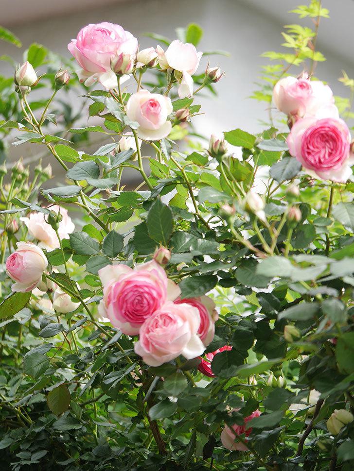 ピエール・ドゥ・ロンサール(Pierre de Ronsard)の花がたくさん咲いた。ツルバラ。2021年-196.jpg