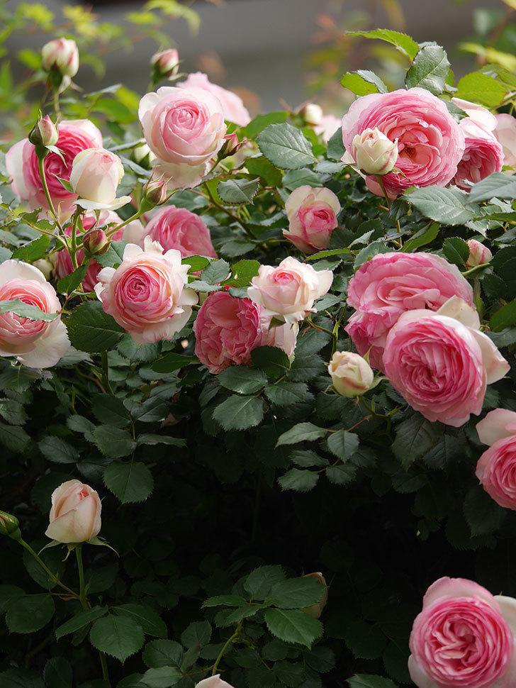 ピエール・ドゥ・ロンサール(Pierre de Ronsard)の花がたくさん咲いた。ツルバラ。2021年-197.jpg