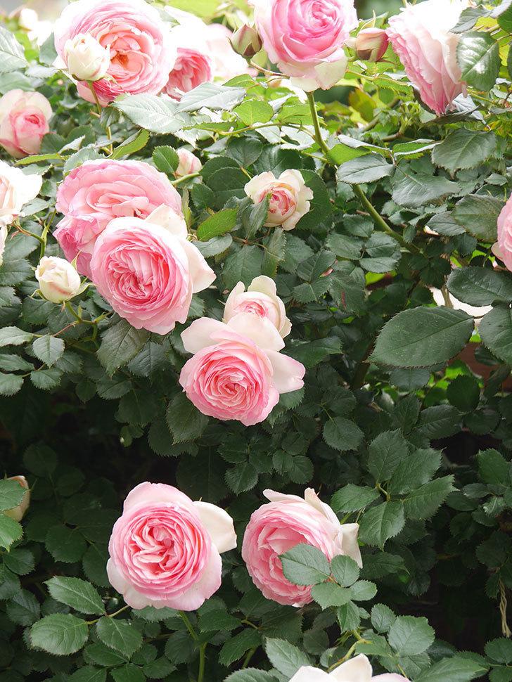 ピエール・ドゥ・ロンサール(Pierre de Ronsard)の花がたくさん咲いた。ツルバラ。2021年-198.jpg